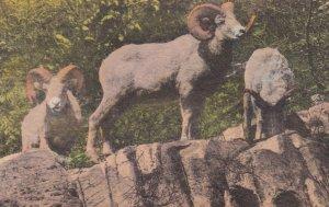 Glacier National Park , Montana , 00-10s ; Mountain Sheep