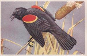 1900-1910's; Red-Winged Blackbird, National Wildlife Federation, Wildbird Pos...