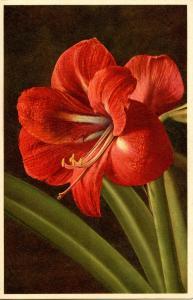 Flowers - Amaryllis                              (Thor & Gyger #2825)