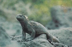 Sea Iguana, GALAPAGOS, Ecuador, PU-1982
