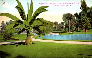 California Los Angeles Hollenbeck Park Abyssinian Banana Tree