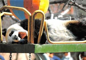 Giant Panda -