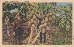 Florida Giant Papaya Tree Curteich