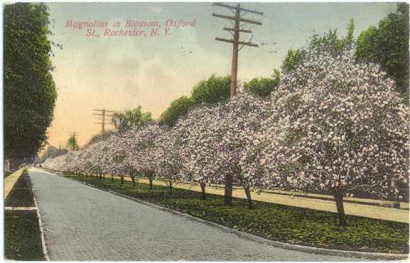D/B Magnolias in Blossom Oxford St. Rochester NY New York