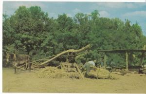 Making Sorghum Molasses the old fashion way down South, unused Postcard