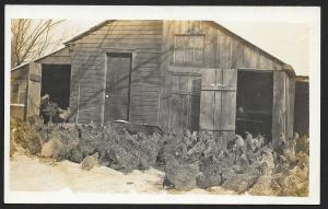Chickens Feeding in Winter at Barn RPPC Unused c1910s