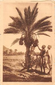 La recolte des dattes dans le sud, palm date tree, native people