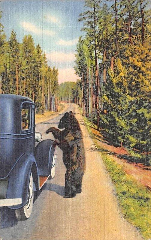 Bear Beggars Yellowstone National Park, WY, USA Bear Unused