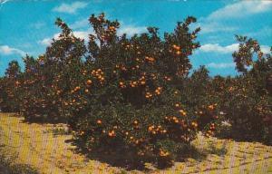 Beautiful Orange Groves In Central Florida Miami Florida