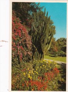 Florida St Petersburg Bougainvillaea & Flowering Pipe Organ Cactus At Sun...