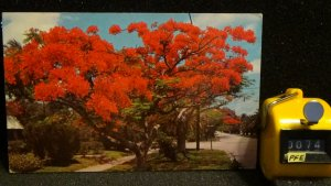 Royal Poinciana Trees Florida Posted Early 70's during gas shortage