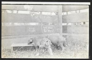 Two Young Pigs Feeding at Trough RPPC Unused c1910s