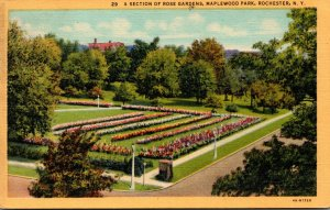 New York Rochester Maplewood Park Section Of Rose Gardens 1948 Curteich