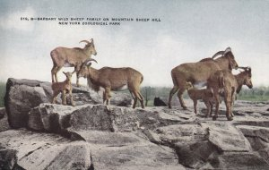 BRONX, New York, 00-10s; Barbary Wild Sheep Family, New York Zoological Park