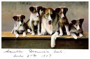 Dog ,    Collie Puppies