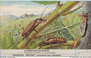 Liebig S1689 Parasitic Insects In Agriculture No 5 Vesperus Xatarti - Druiven...