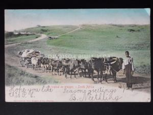 South Africa A TYPICAL OX WAGON c1903 UB by Sallo Epstein & Co. of Durban
