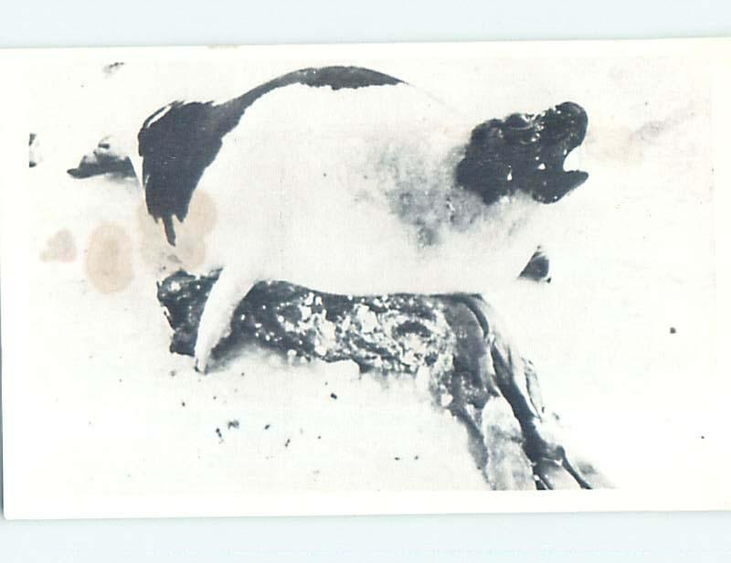 Pre-1980 HUNTING - DEAD BABY HARP SEAL WITH MOTHER Northen Canada YT p9860
