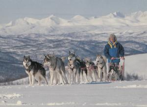 Lappland Pack Of Trained Dogs Wolves Norway Postcard
