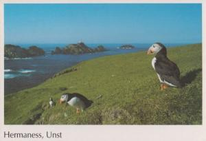 Puffin Bird at Hermaness Unst Scottish Puffins Postcard