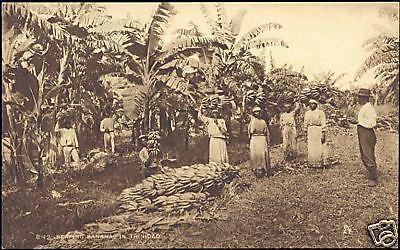 trinidad, Natives Reaping Bananas (1930s)