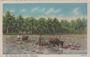 Philippines Farmers Harrowing With Carabao Curteich sk0850a