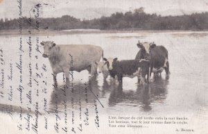 Cows in water , 1904 , TUCK 411