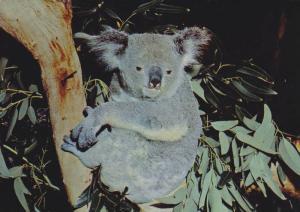 The Australian Koala, Eucalypt Gum Trees, Australia, PU-1970