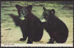 Black Bear Cubs Postcard BIN