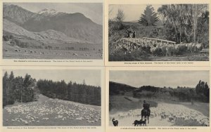 New Zealand Sheep Grazing 4x Antique Postcard s