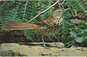Vintage Postcard Brown Thrasher Bird by John H Gerard Nature Press 1960