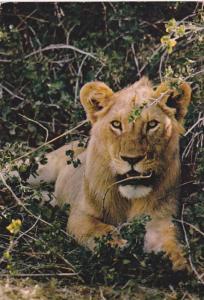 African Fauna lion, 40-60s