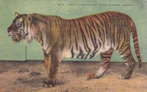 Tiger At Ringling Brothers Winter Quarters Sarasotal Florida