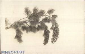 Fine Photography Nature - Pinecrest Tree Branch c1910 Real Photo Postcard