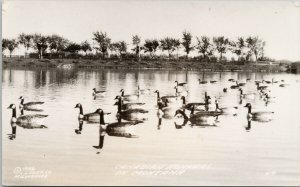 Canadian Honkers in Montana Canadian Geese LL Cook Co RPPC Postcard G41