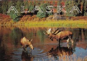 Alaska The Bull Moose