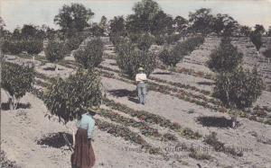 Young Peach Orchid & Strawberry Vines , Southern Oregon [ Dallas] , PU-1908
