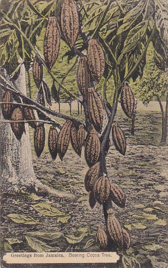 Greetings From Jamaica Cocoa Tree Bearing Fruit
