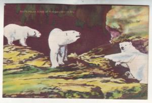 P523 JLs 1930-45 linen white polar bears at the cincinnati zoo