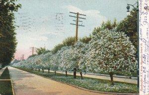 Oxford Street White Magnolias - Rochester NY, New York - pm 1907 - UDB