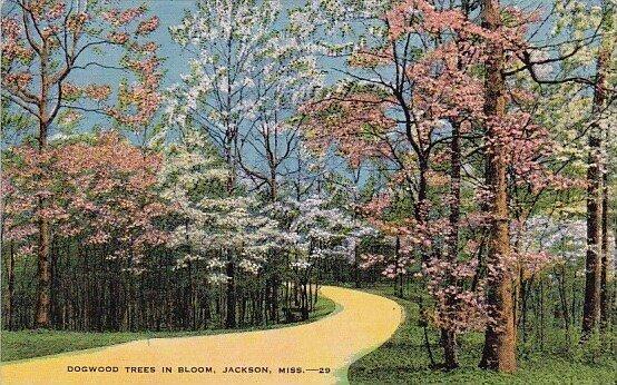 Dogwood Trees In Bloom Jackson Mississippi