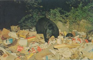 Black Bear visiting the Village Dump - Adirondacks, New York