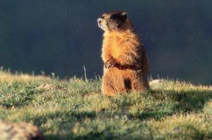 Yellow Bellied Marmot in Colorado