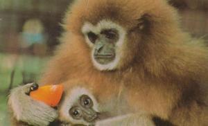Lar Gibbon And Baby at London Zoo 1970s Postcard