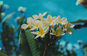 Frangi-Pani Tropical Flower Greetings From St Croix Virgin Islands