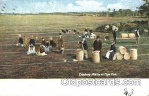Picking Cranberries Farming, Farm, Farmer, Postcard Postcards Cape Cod, Mass,...