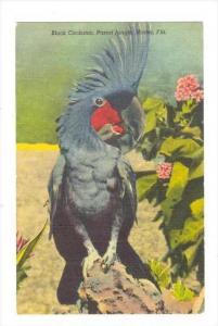 Black Cockatoo, Parrot Jungle, Miami, Florida, 1930-1940s