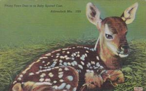 New York Adirondack Mountains Young Fawn Deer In Its Baby Spotted Coat