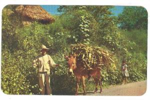 Working Donkey carrying load, Mexico, PU