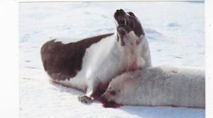 Victums of the Canadian seal Slaughter , Canada , 50-60s